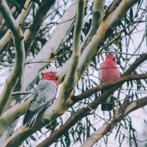 """""""Another beautiful day ahead"""", the Galahs outside my window, said."""