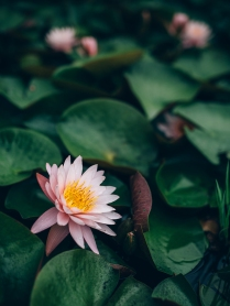 I've been wanting to photograph these water lilies for some time and I must admit, that dam was the most disgusting thing I've put my feet into all year.
