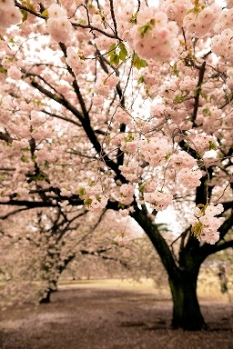 Happy Friday, friends! My weekend is going to go a little something like: photographing a gorgeous couple's beach wedding, celebrating my birthday and feeling ultra blessed for the year thus far, and all who've contributed to making it superb. One such moment that made this year extra special, was the privilege of wandering through the magnificent cherry blossoms of Shinjuku Gyoen National Garden. Hope your weekend is a wonderful one.