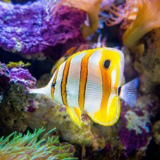 Copperband Butterfly Fish.